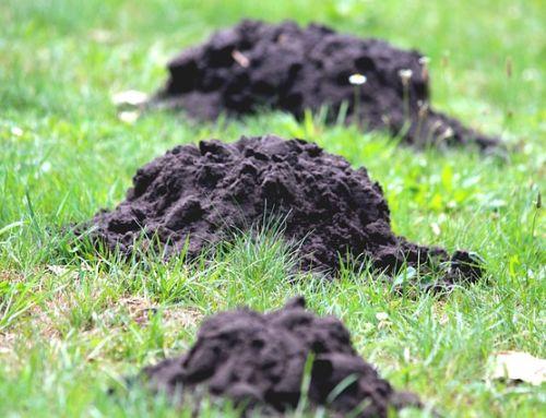 Krtko vo vašom trávniku?