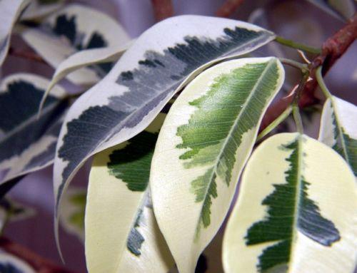 Vyživte vaše izbové rastliny okrasné listom