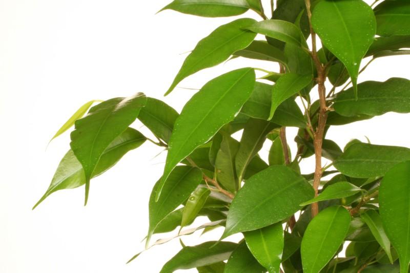 Fikus – nenáročný zelený priateľ