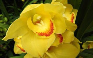 Orchidey Cimbidium